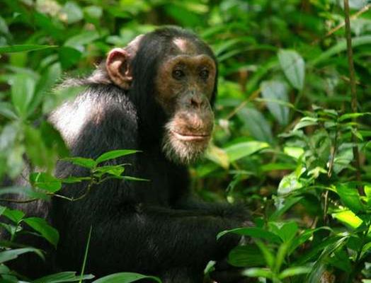 Chimp in Kibale 2 - Full res - Great Lakes