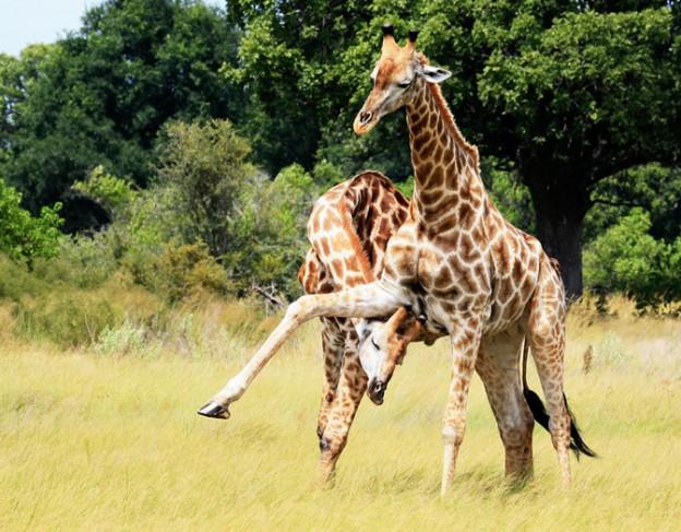 giraffe - kwando lebala camp - wetu