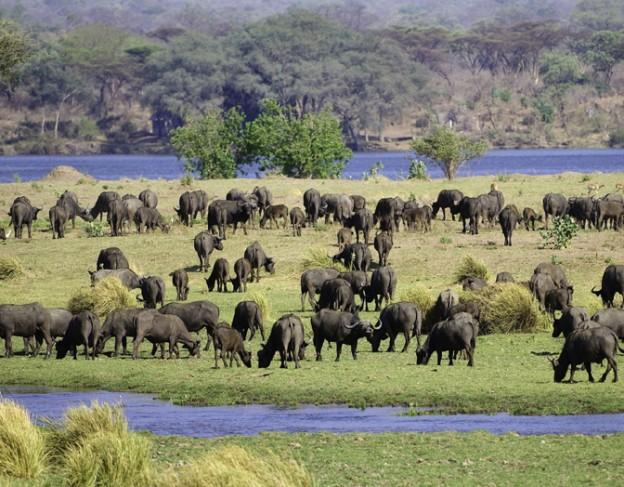 buffallo - Mana pools - full res - Ruckomechi camp