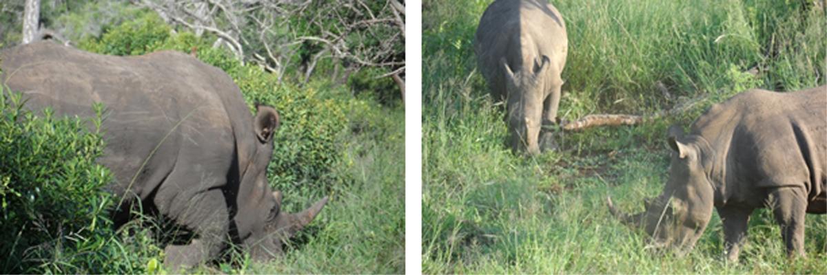 Walking with Rhinos